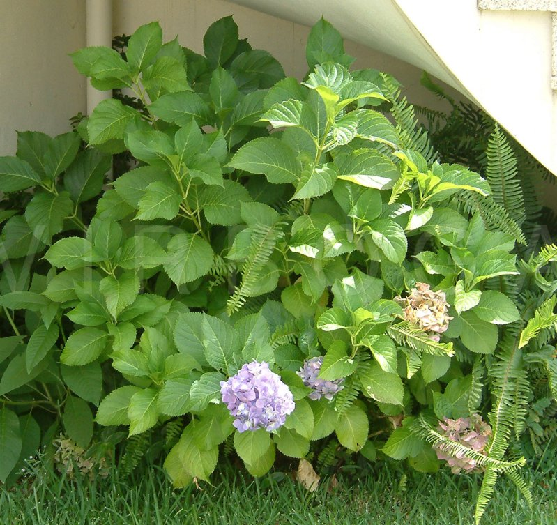Virboga Hydrangea Macrophylla