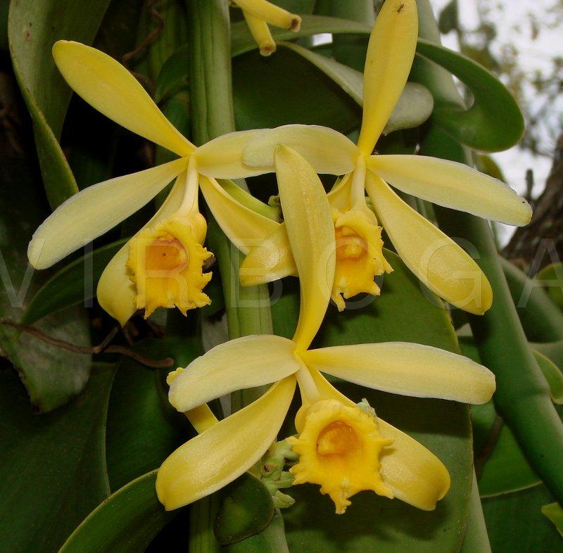 Virboga Vanilla Planifolia