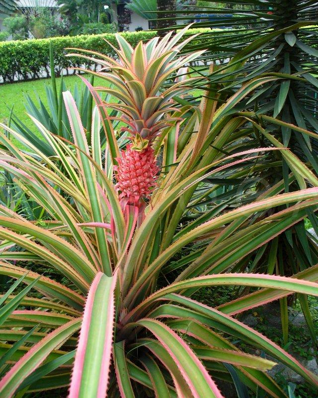 Virboga Ananas Bracteatus