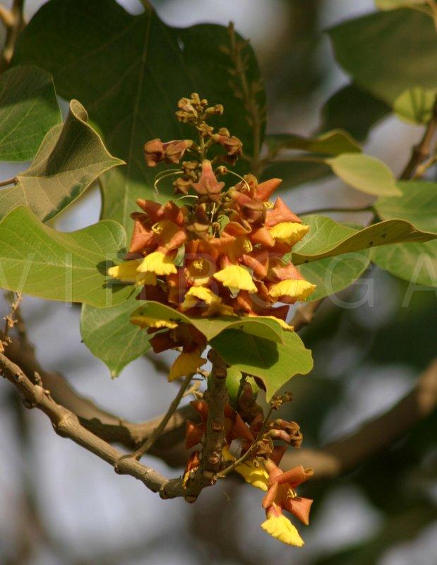 Virboga Gmelina Arborea