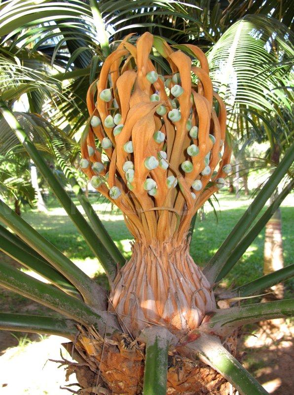 Virboga Cycas Edentata