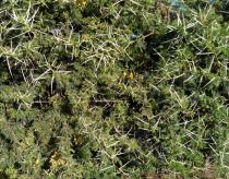 Acacia farnesiana - Click to enlarge!