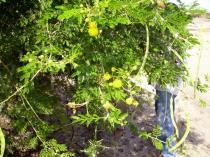 Acacia seyal - Click to enlarge!
