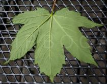 Acer pseudoplatanus - Lower surface of leaf - Click to enlarge!