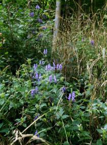 Aconitum napellus - Click to enlarge!