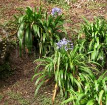 Agapanthus africanus - Click to enlarge!