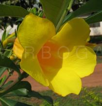 Allamanda cathartica - Flower - Click to enlarge!