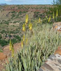 Aloe vera - Click to enlarge!