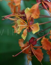 Bauhinia khasiana - Click to enlarge!