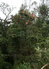 Bauhinia lorantha - Click to enlarge!