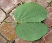 Bauhinia variegata - Lower side of leaf - Click to enlarge!