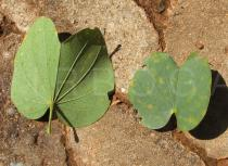 Bauhinia variegata - Upper and lower surface of leaves - Click to enlarge!