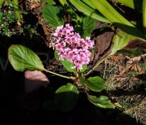 Bergenia cordifolia - Habit - Click to enlarge!