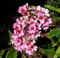 Bergenia cordifolia - Inflorescence - Click to enlarge!