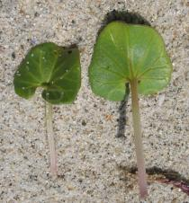 Calystegia soldanella - Upper and lower surface of leaf - Click to enlarge!