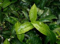 Camellia sinensis - Click to enlarge!