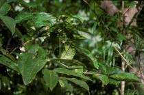 Canarium denticulatum - Click to enlarge!