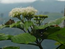 Clerodendrum colebrookianum - Branch with inflorescences - Click to enlarge!