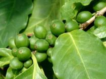 Coffea arabica - Unripe fruits - Click to enlarge!