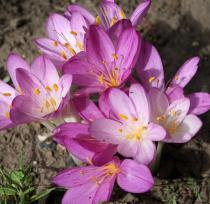 Colchicum autumnale - Flowers - Click to enlarge!