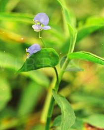 Commelina diffusa - Flower - Click to enlarge!