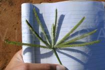 Dactyloctenium giganteum - Click to enlarge!