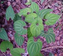 Dioscorea maciba - Click to enlarge!