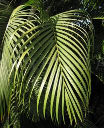 Dypsis lutescens - Leaf section - Click to enlarge!