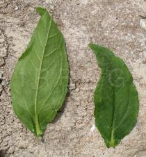 Eclipta prostrata - Upper and lower side of leaf - Click to enlarge!