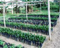 Elaeis guineensis - Oil palm nursery - Click to enlarge!