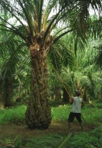 Elaeis guineensis - Harvesting of oil palm - Click to enlarge!