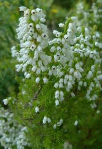 Erica lusitanica - Flowering plant - Click to enlarge!