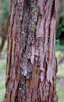 Erica scoparia - Bark - Click to enlarge!