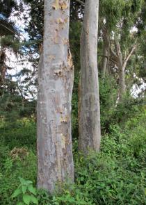 Eucalyptus camaldulensis - Click to enlarge!
