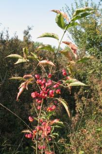 Euonymus europaeus - Click to enlarge!
