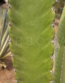 Euphorbia candelabrum - Click to enlarge!