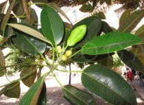 Ficus macrophylla - Foliage - Click to enlarge!
