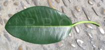 Ficus macrophylla - Upper surface of leaf - Click to enlarge!