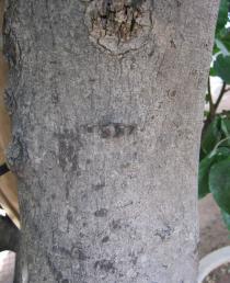 Ficus polita - Click to enlarge!