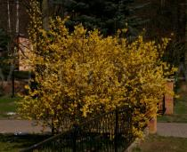 Forsythia x intermedia - Habit - Click to enlarge!