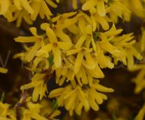 Forsythia x intermedia - Flowers - Click to enlarge!