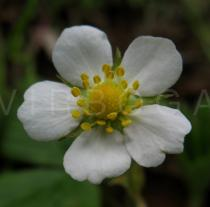 Fragaria vesca - Flower - Click to enlarge!