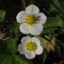 Fragaria vesca - Flowers - Click to enlarge!