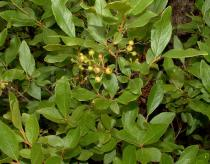 Gaylussacia baccata - Click to enlarge!