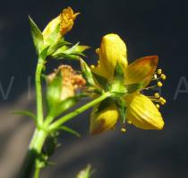 Hypericum tetrapterum - Flower from below - Click to enlarge!