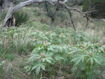 Jatropha macrorhiza - Click to enlarge!