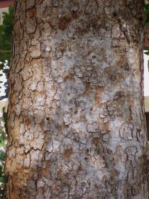 Khaya senegalensis - Bark - Click to enlarge!