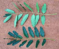 Khaya senegalensis - Top and lower side of leaf - Click to enlarge!