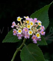 Lantana camara - Inflorescence - Click to enlarge!