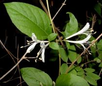Lonicera 	japonica - Click to enlarge!